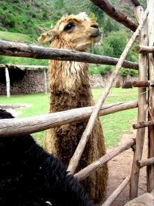 Alpaca in Cusco, Peru