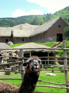 Alpaca in the Sacred Valley of Peru